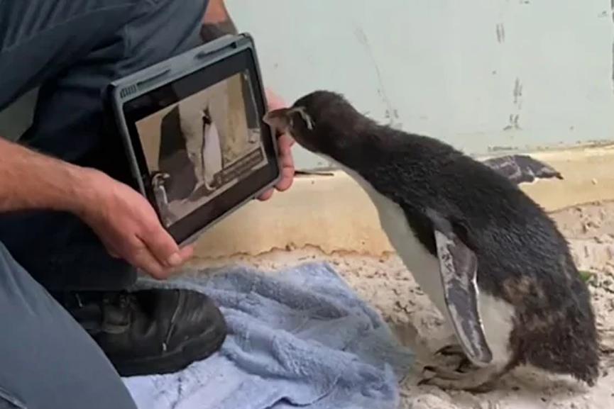 Penguin Loves Watching 'Pingu'_2020 Aug 29