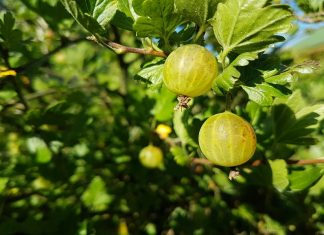 Goosberry for heart diseases and diabetes