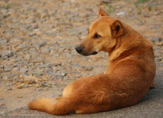Kasargod Stray Dog