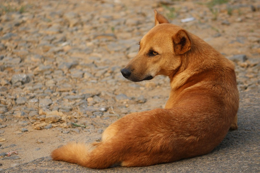 Kasargod Stray Dog