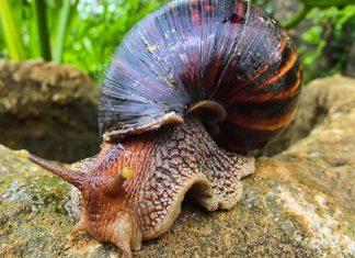 MalabarNews_african snails ovelap in kerala