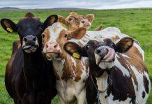 MalabarNews_cows lumpy disease