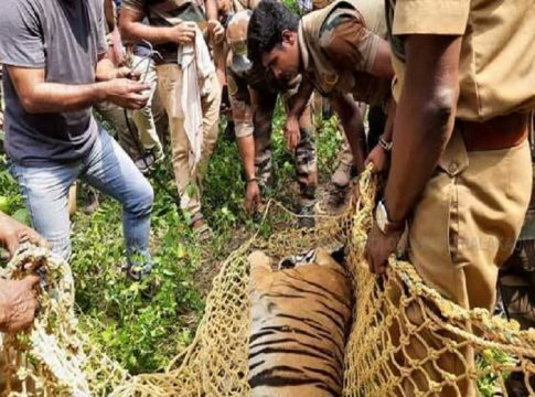 Escaped Tiger Caught From Neyyar