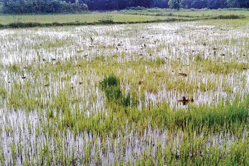 palakkad-crop-field-in-rain