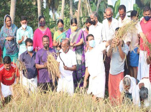 paddy cultivation at ramanattukara