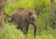 wild elephant in wayanad