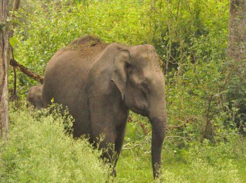 wild elephant in wayanad