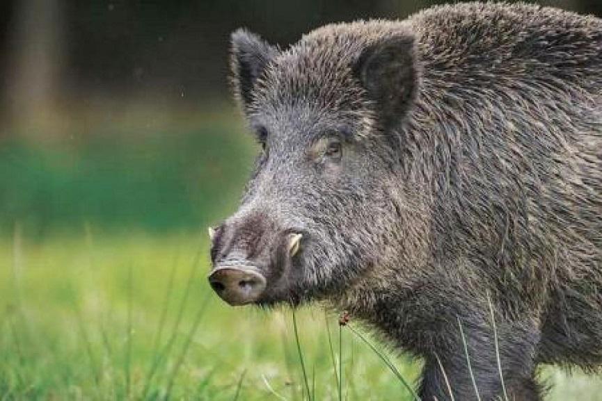 Wild_Boar attack