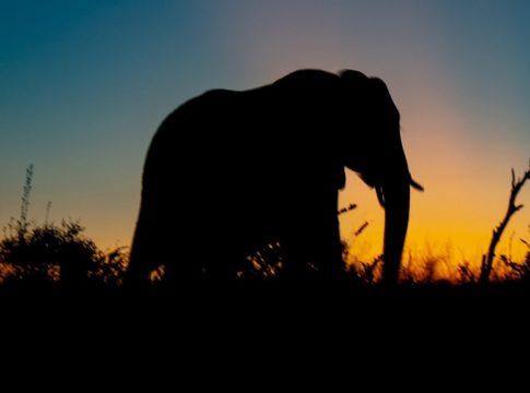 elephant-died
