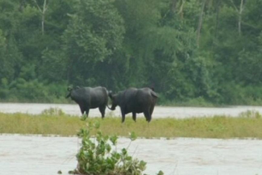 Bharathapuzha-cattle