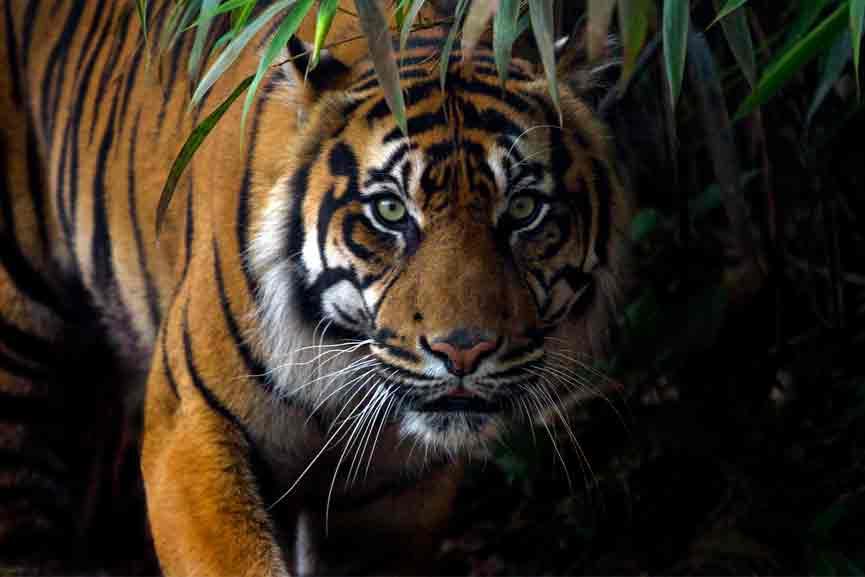 Tiger in Meenangadi CC