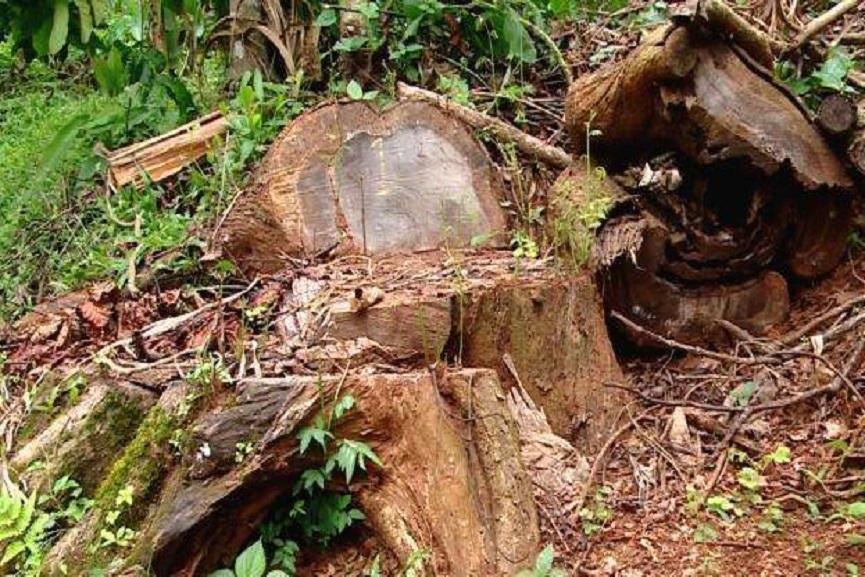 muttil-wood smuggling