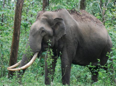 wild elephants-in-kasargod