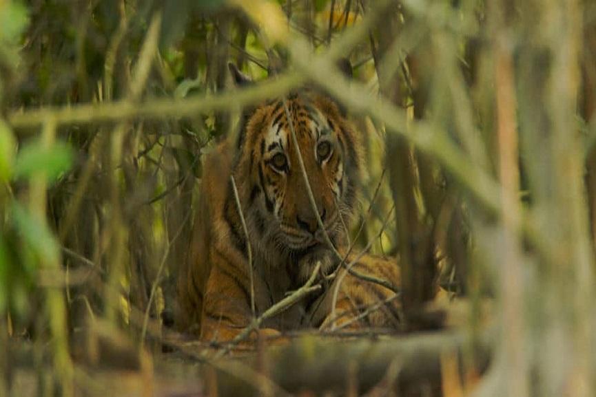 tiger fear uppukulam