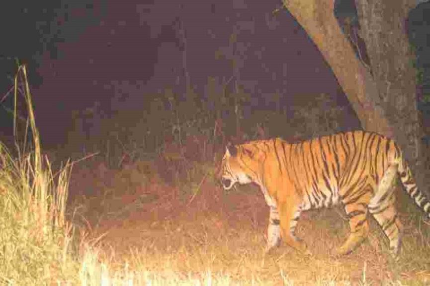 Tiger In wayanad