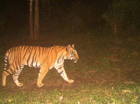 Tiger In Palakkad