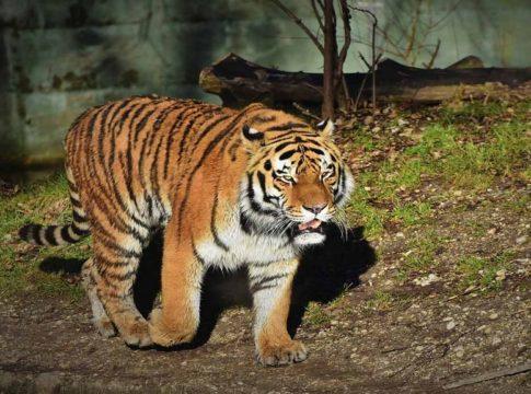 tiger-in-perambra-estate