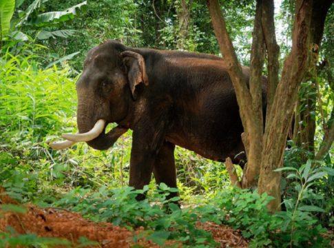 Wild Elephant_