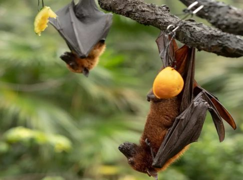 bat-fruit