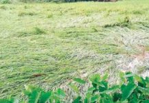 paddy fields are being destroyed