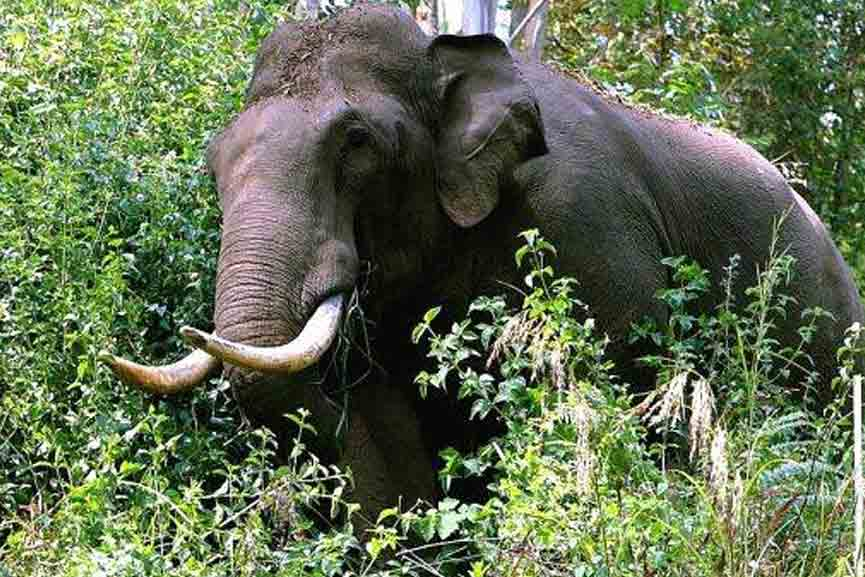 elephant in populated area