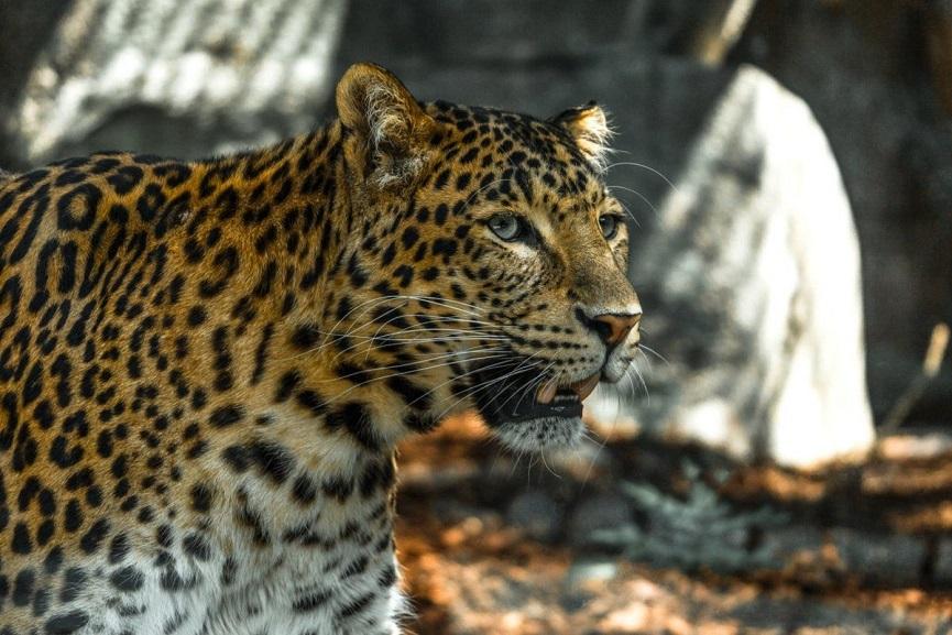 Leopard in kannur