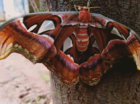 Atlas moth butterfly in kozhikode