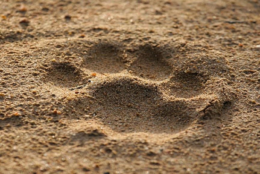 tiger footprints-kottiyoor