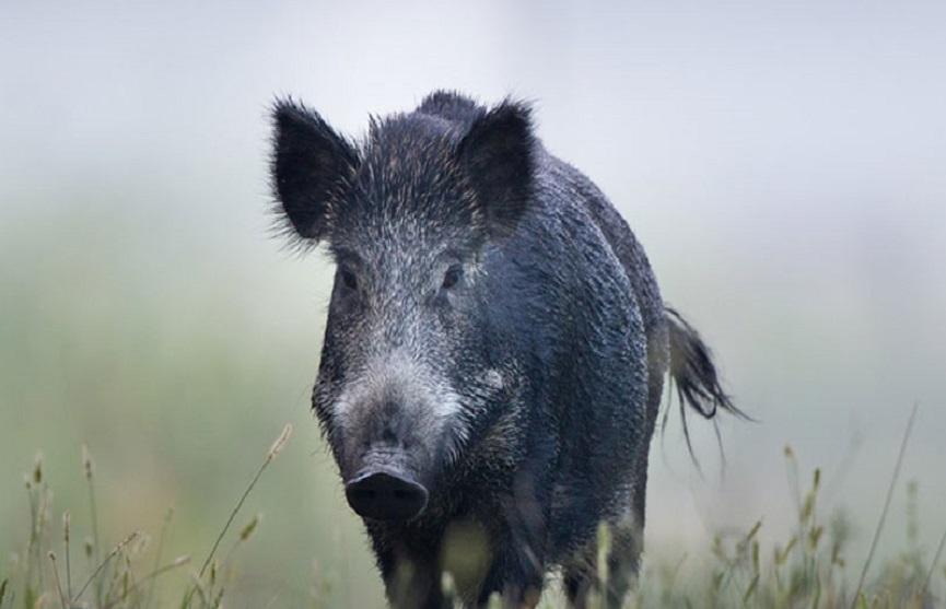 wild boar attack
